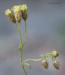 Pleurocoronis pluriseta