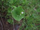 Claytonia exigua ssp. glauca
