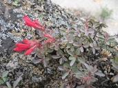 Penstemon newberryi var. sonomensis