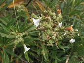 Eriodictyon sp.