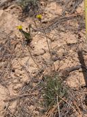 Hymenopappus filifolius