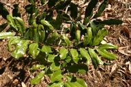 Cupaniopsis anacardioidesa