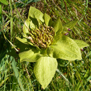 Broad-leaved Mule's Ears