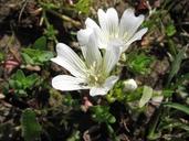Limnanthes douglasii ssp. nivea