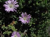 Drosanthemum floribundum