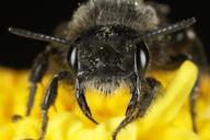Dufourea sp.