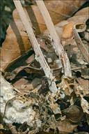 Gymnopus confluens