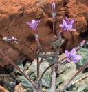 Gilia brecciarum ssp. jacens