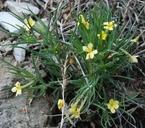 Lithospermum incisum