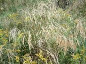 Bromus ciliatus
