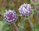 Trifolium barbigerum var. andrewsii