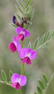 Vicia sativa ssp. nigra