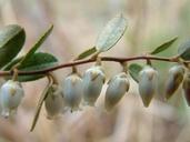 Chamaedaphne calyculata var. angustifolia