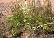 Lilaeopsis masonii