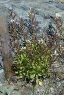 Thlaspi californicum
