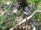 Pale Heath Violet