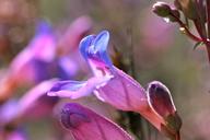 Penstemon spectabilis var. spectabilis