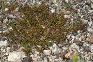 Euphorbia polycarpa