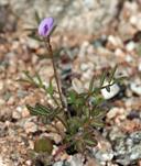Astragalus nuttallianus var. imperfectus