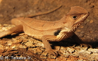 Brazilian Horned Lizard