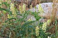 Astragalus pomonensis