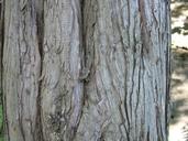 Juniperus virginiana var. virginiana