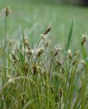 Carex nardina