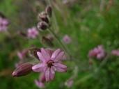 Silene verecunda ssp. verecunda