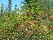 Ilex mucronata (L.) M.Powell, V.Savolainen & S.Andrews (=Nemopanthus mucronatus (L.) Loes.) némopanthe mucroné [mountain-holly]