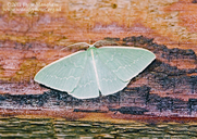 Twin Emerald Moth
