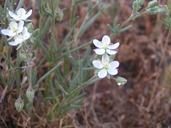 Spergularia macrotheca var. longistyla
