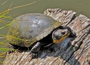 """Animal basking, reluctant to flee on a cool day<br /><strong>Location:</strong> Washtenaw County, Michigan USA (Michigan, US)<br /><strong>Author:</strong> <a href=""""http://calphotos.berkeley.edu/cgi/photographer_query?where-name_full=James+Harding&one=T"""">James Harding</a>"""