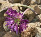 Allium sharsmithiae