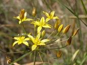 Bloomeria clevelandii