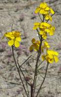 Erysimum teretifolium