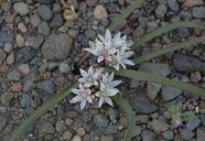 Allium tribracteatum