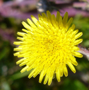 Sonchus asper ssp. asper