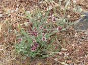 Lomatium hooveri