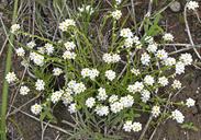 Plagiobothrys stipitatus var. stipitatus