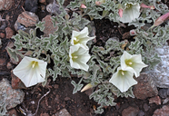 Calystegia collina ssp. oxyphylla