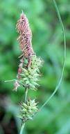 Carex serratodens