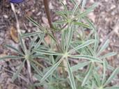 Lupinus holmgrenianus