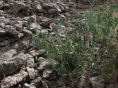 Lathyrus hitchcockianus