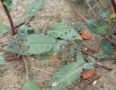 Chylismia claviformis ssp. lancifolia