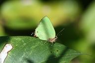 Cyanophrys herodotus