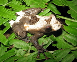 Pied Wart Frog