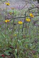 Helianthella californica var. californica