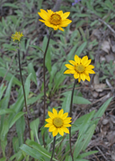 Helianthella californica var. californica