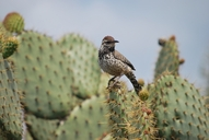 Coastal California Cactus Wren