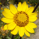 Helianthella californica var. nevadensis